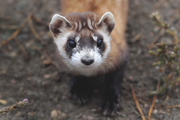A black-footed ferret in captivity in northern Colorado © Kathryn Scott Osler/The Denver Post via Getty Images
