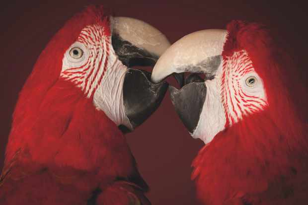 Secret to parrots' intelligence found © Getty Images