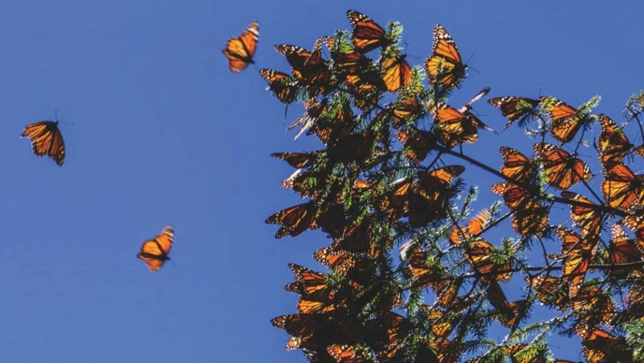 How do butterflies manage to fly in the wind? © Getty Images