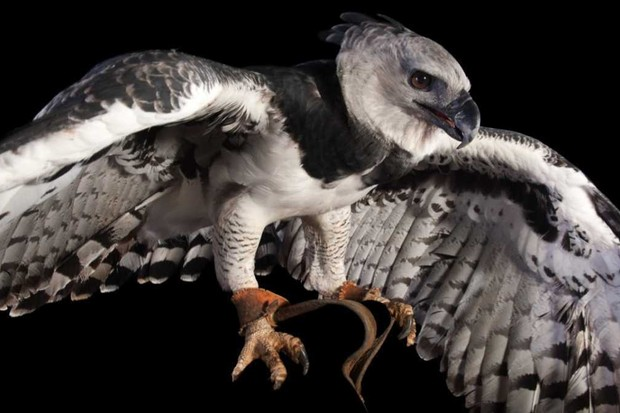 Harpy eagle © Getty Images