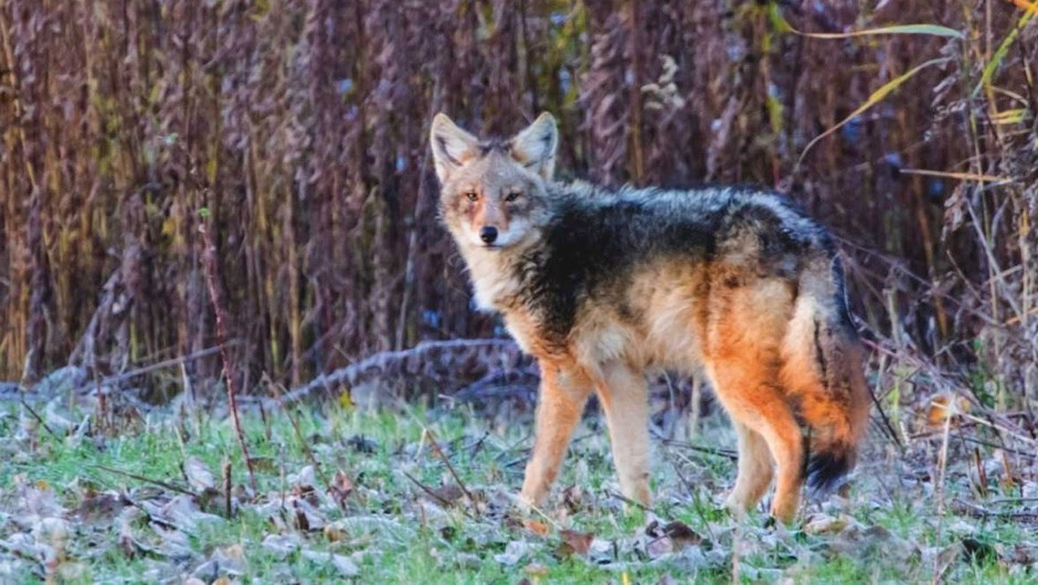 Are coywolves a new species? © Getty Images