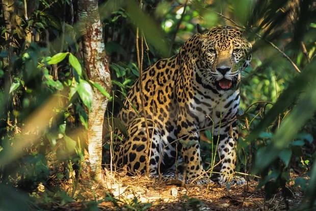 Jaguar © Getty Images