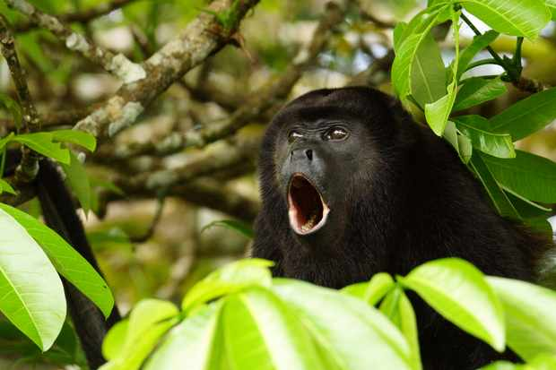 What's the loudest animal relative to its size? © Getty Images