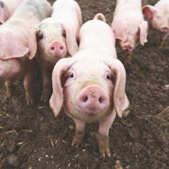 Pigs raised for xenotransplantation would probably need to be kept in a sterile environment, so would not be able to forage and play with other pigs © Getty