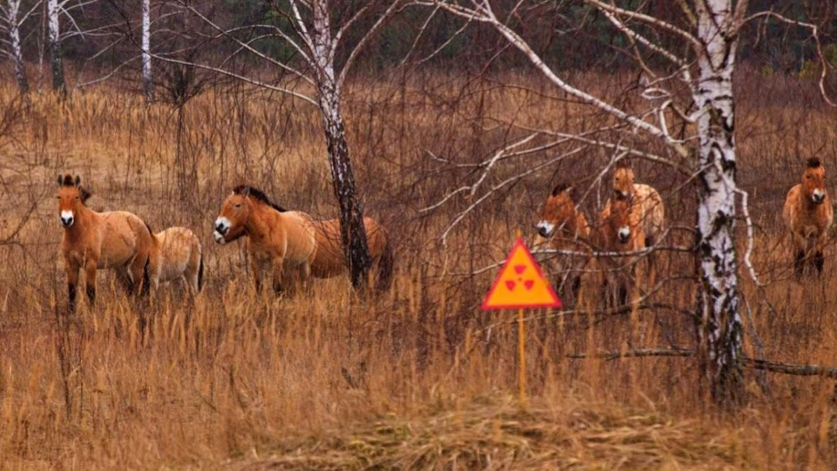 Przewalski's horse, which inhabited the Chernobyl zone. After 20 years the population has grown, and now they gallop on radioactive territories © Anton Petrus/ Getty Images