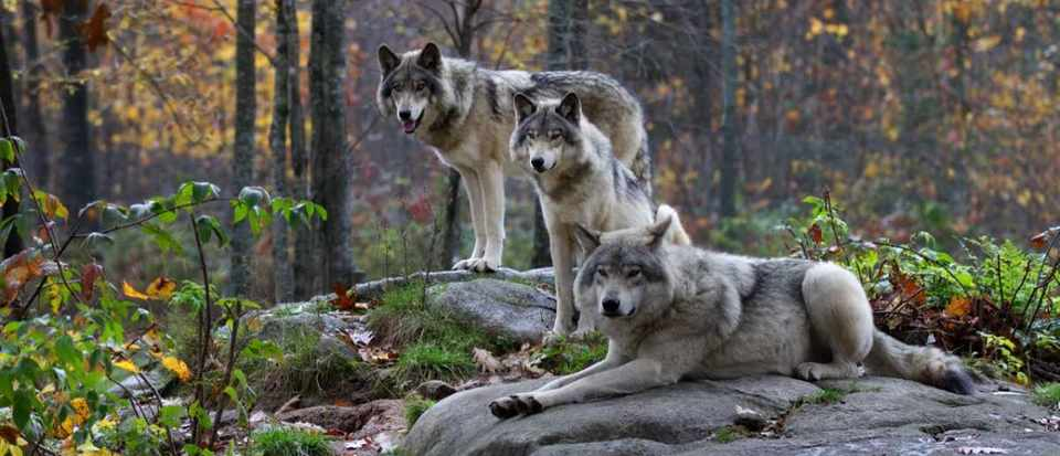 Grey wolf © Getty Images
