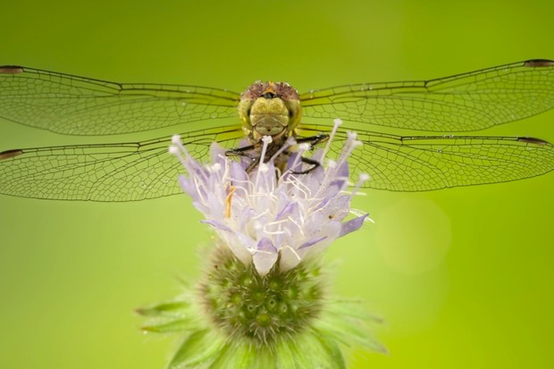 Why do dragonflies have four wings instead of two? © Getty Images