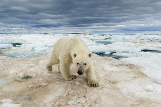 Polar Bear © Getty Images