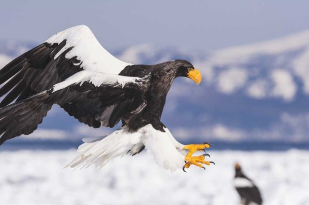 Steller's sea eagle © Getty Images