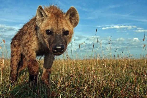 Spotted Hyena © Getty Images