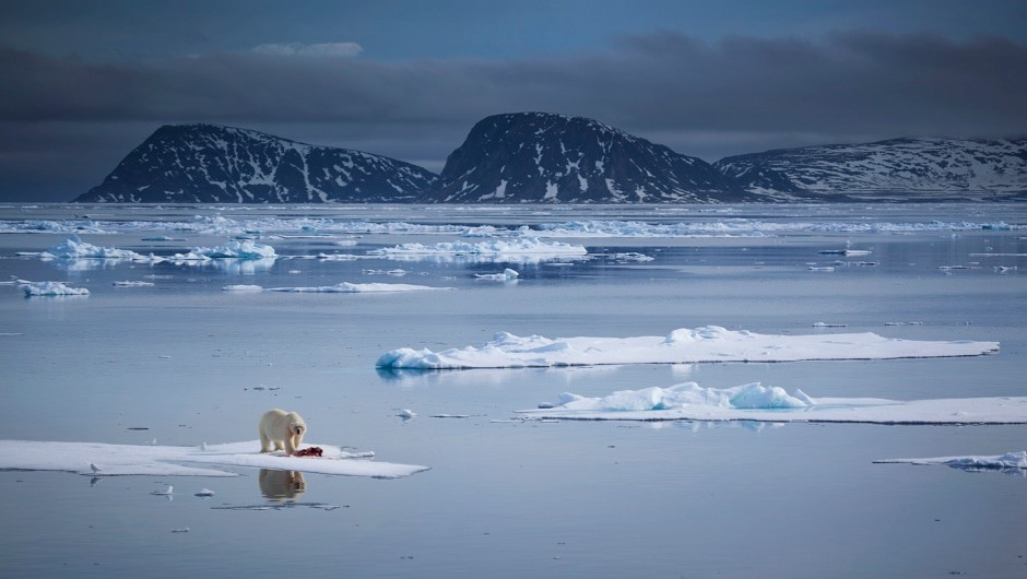Could we move polar bears to Antarctica to prevent their extinction? © Getty Images