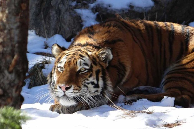 Siberian Tiger © Getty Images