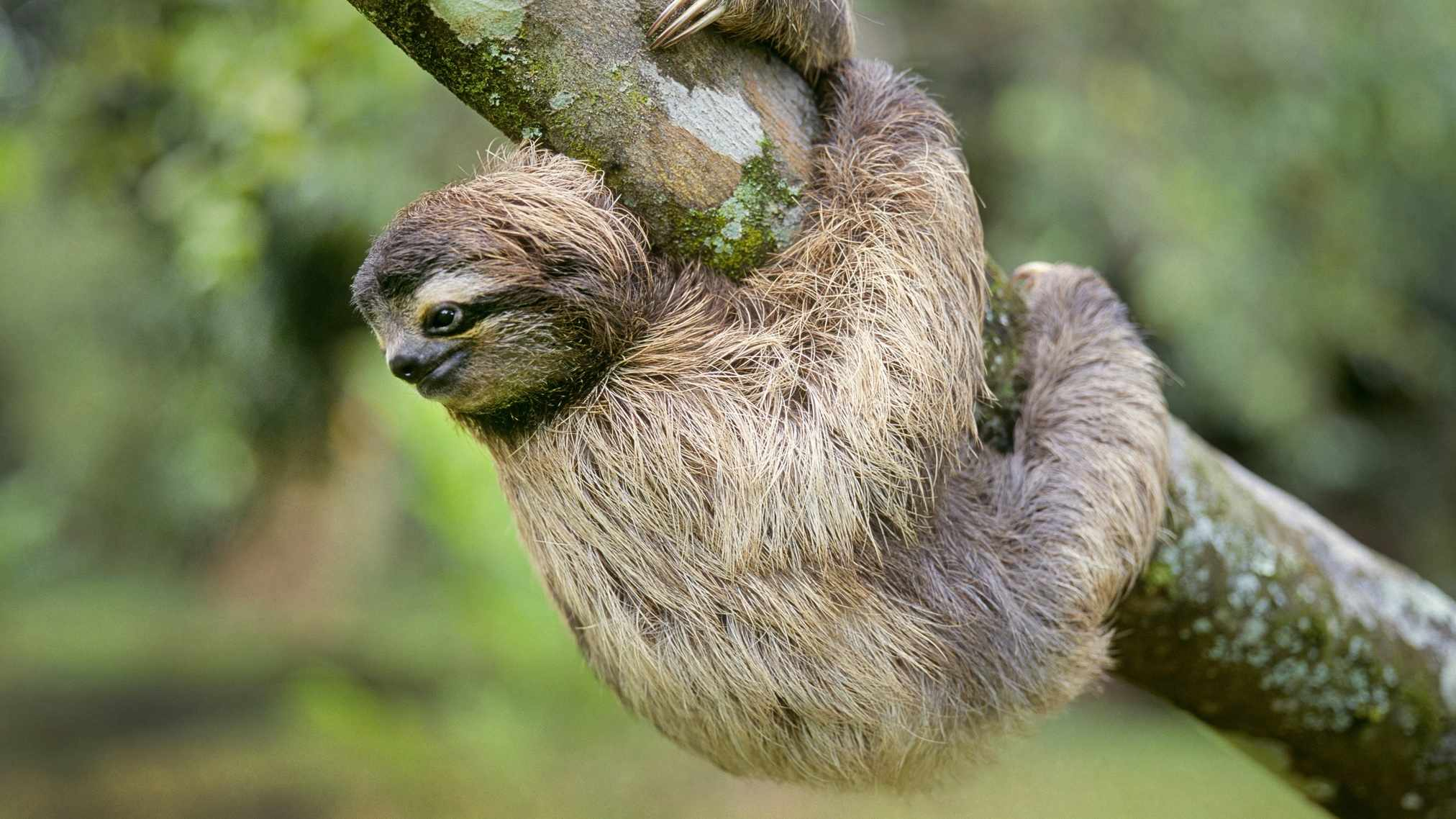 Portrait of a three-toed sloth, Bradypus variegatus, a rare and endangered mammal of the rain forest canopy © Getty Images