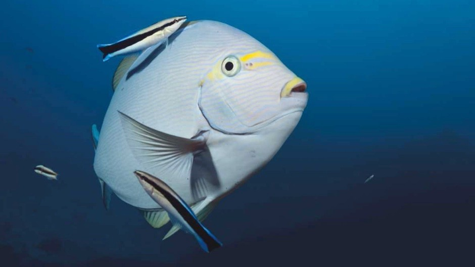 How do fish defend against sickness? © Getty Images