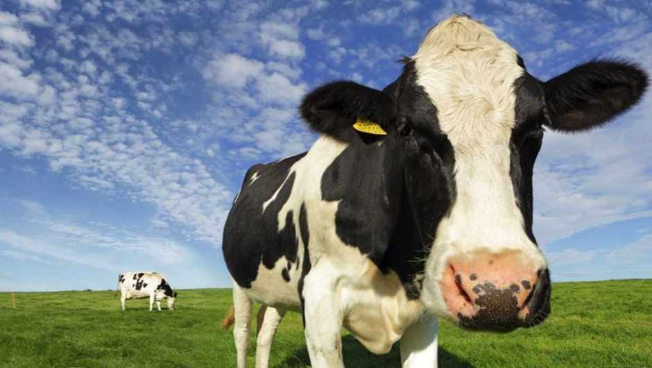 Image result for getty images cows