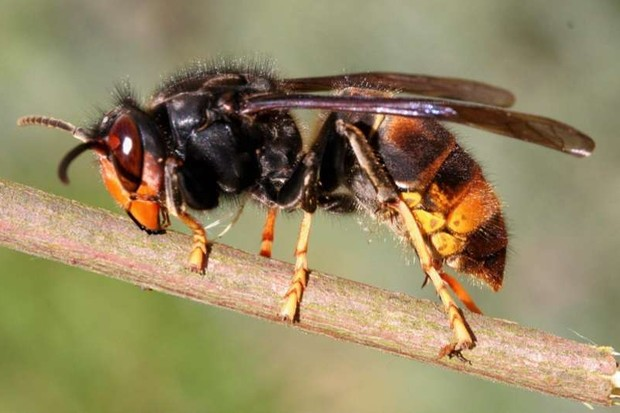 Asian predatory wasp © Getty Images