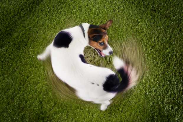 Why do dogs chase their tails? © Getty Images