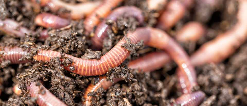 why do earthworms surface after rain science focus bbc focus