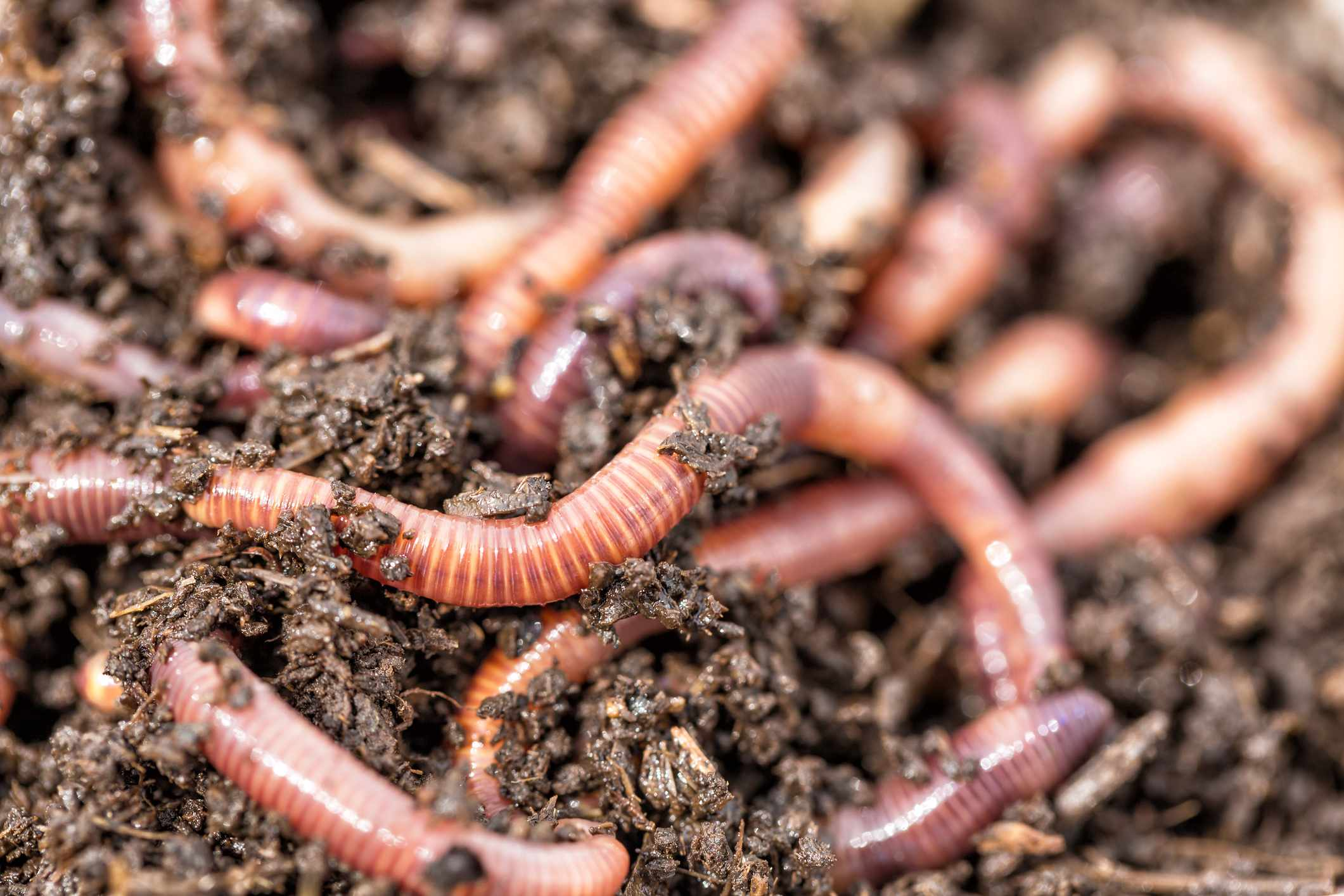 Why do earthworms surface after rain? © Getty Images
