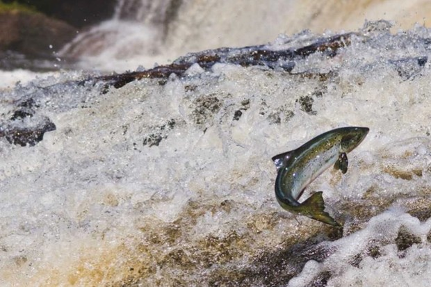 How do salmon find their way home? © Getty Images