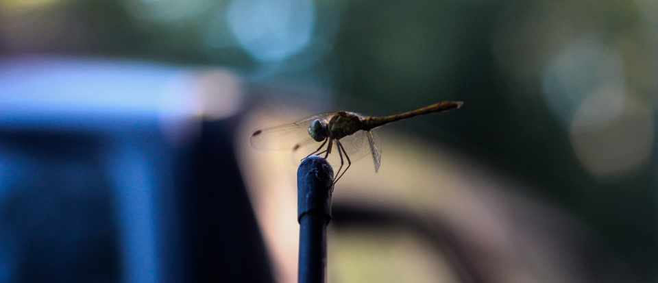 Why are dragonflies attracted to my car's radio aerial? © Getty Images