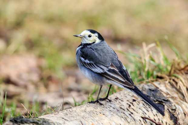 Why does a wagtail wag its tail? © Getty Images