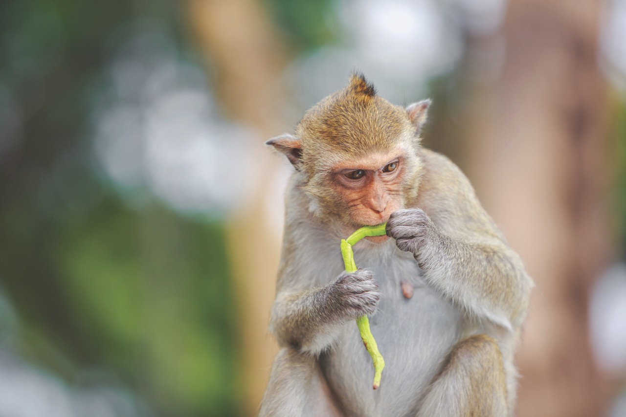 Monkey eating vegetable © Getty Images