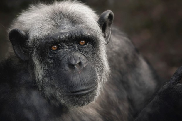 Could humans evolve again from apes if we went extinct? © Getty Images