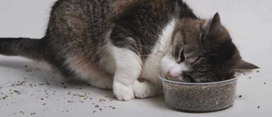 What effect does catnip have on cats? © Getty Images