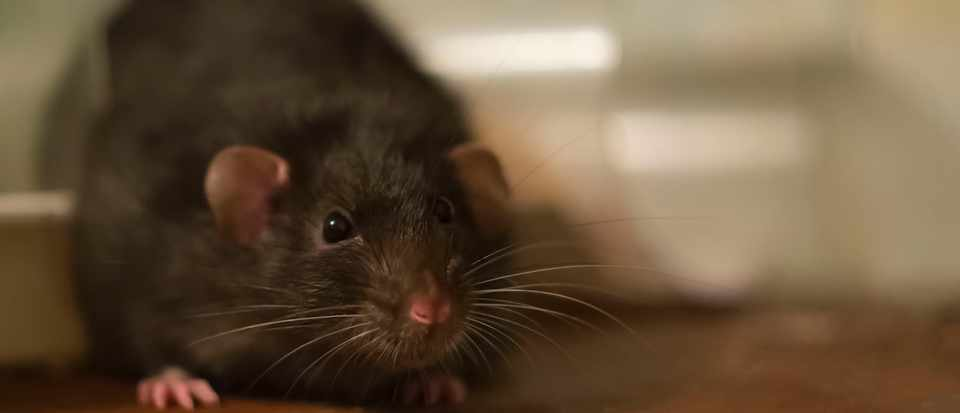 Could rats really grow as big as sheep? © Getty Images