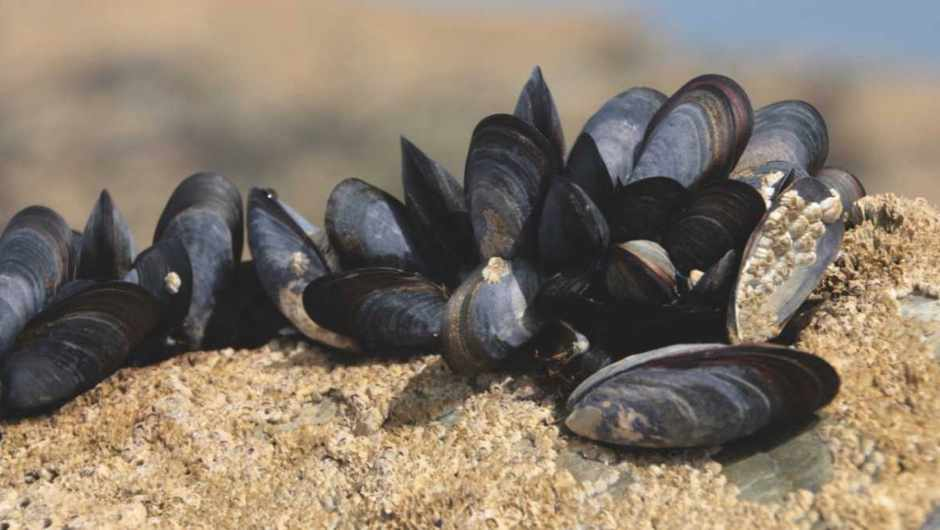 How do mussels stick to wet rocks? © Getty Images