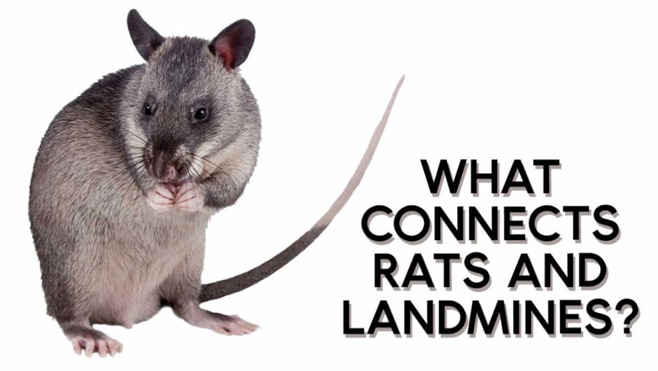 What connects rats and landmines? © Getty Images