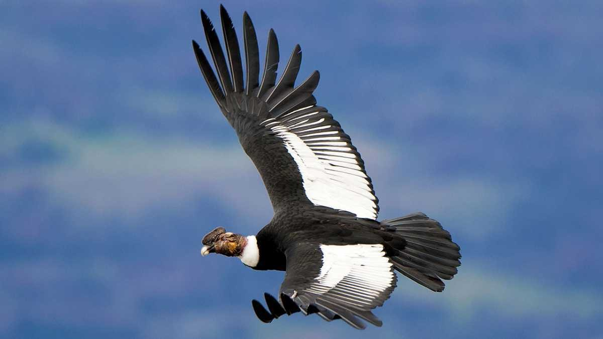Andean condor © Getty Images