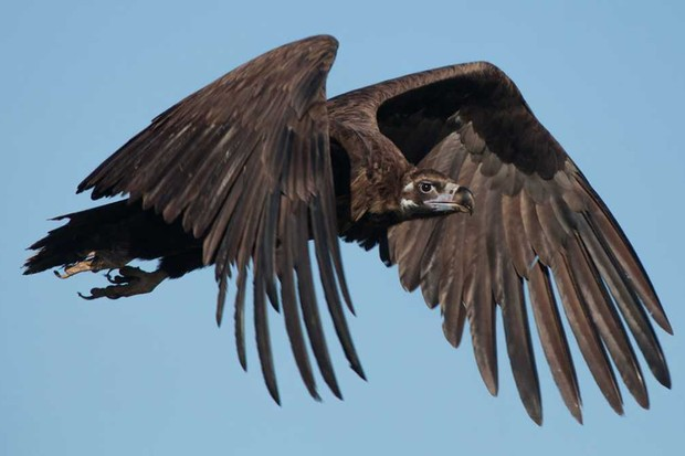 Eurasian black vulture © Getty Images