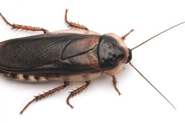 Can a cockroach really live without its head? © iStock