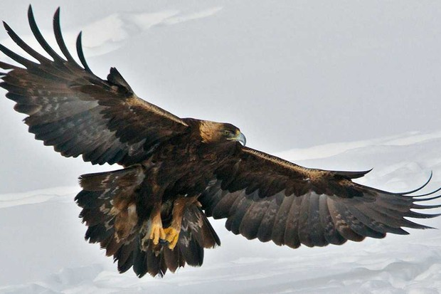 Golden Eagle © Getty Images