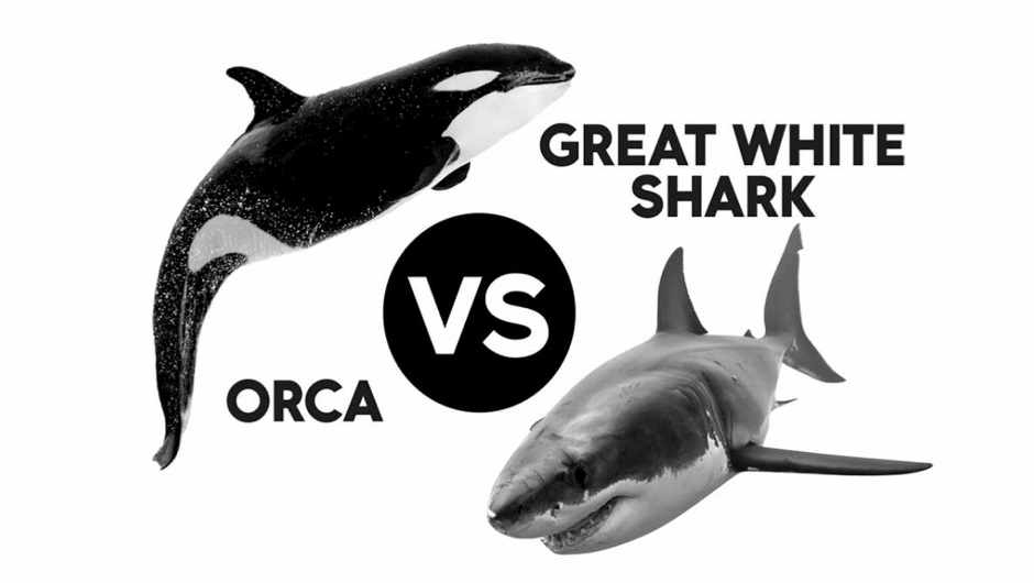 Head to head: Orca vs Great White Shark