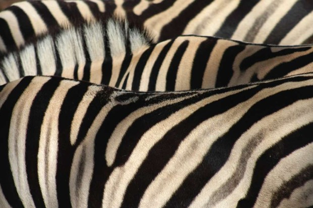 How did the zebra get its stripes? © iStock