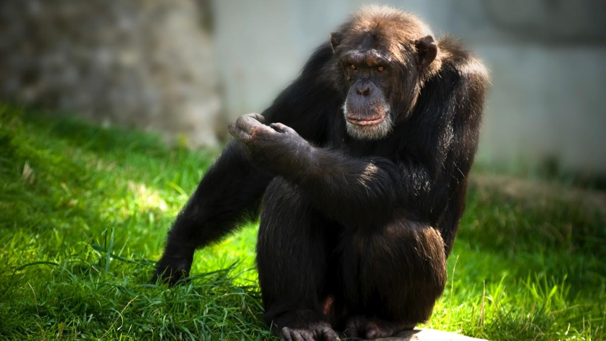 The demands of managing life in a wide social group is one explanation for the development of intelligence. Chimps can handle a bigger group than Neanderthals, while humans can handle bigger groups than chimps © Getty Images