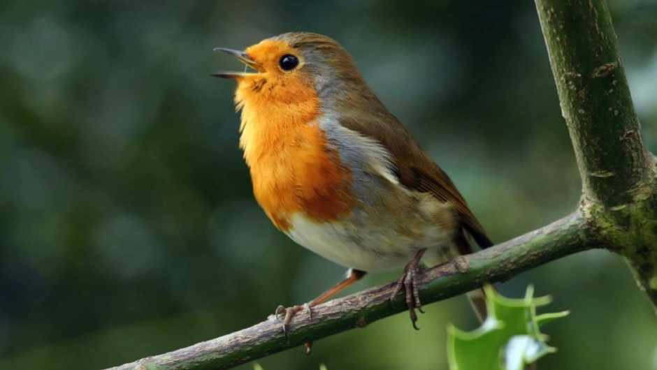 How does a small bird such as a robin produce such a loud sound? © iStock