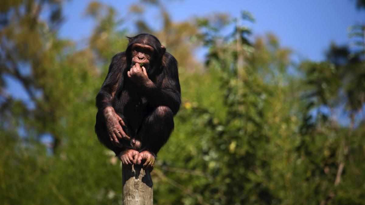 As we share more DNA with chimps, why are dogs better companions? © iStock