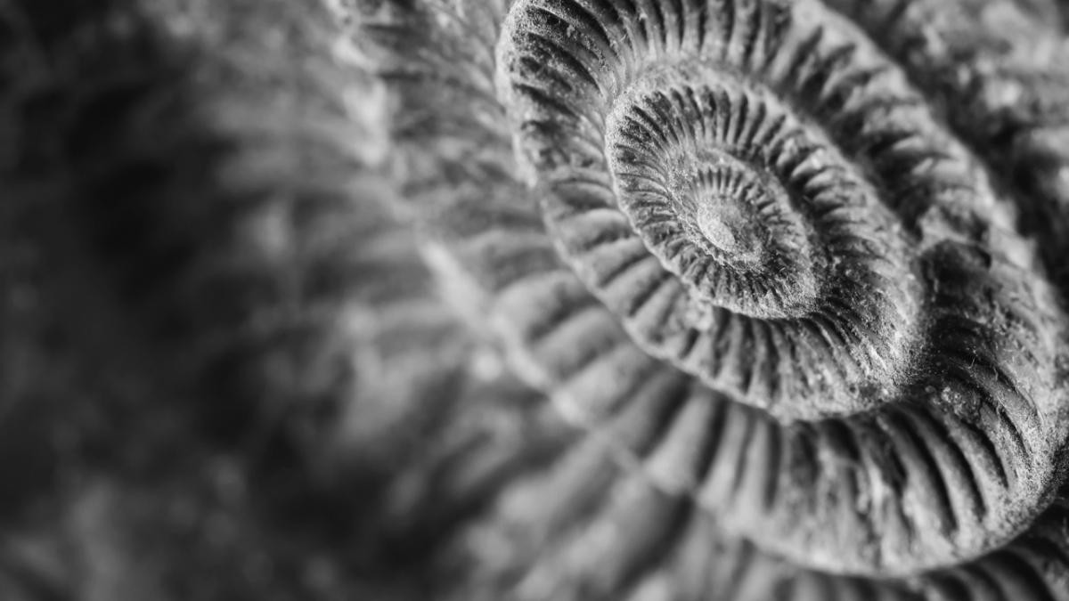 Could ammonites swim? © iStock