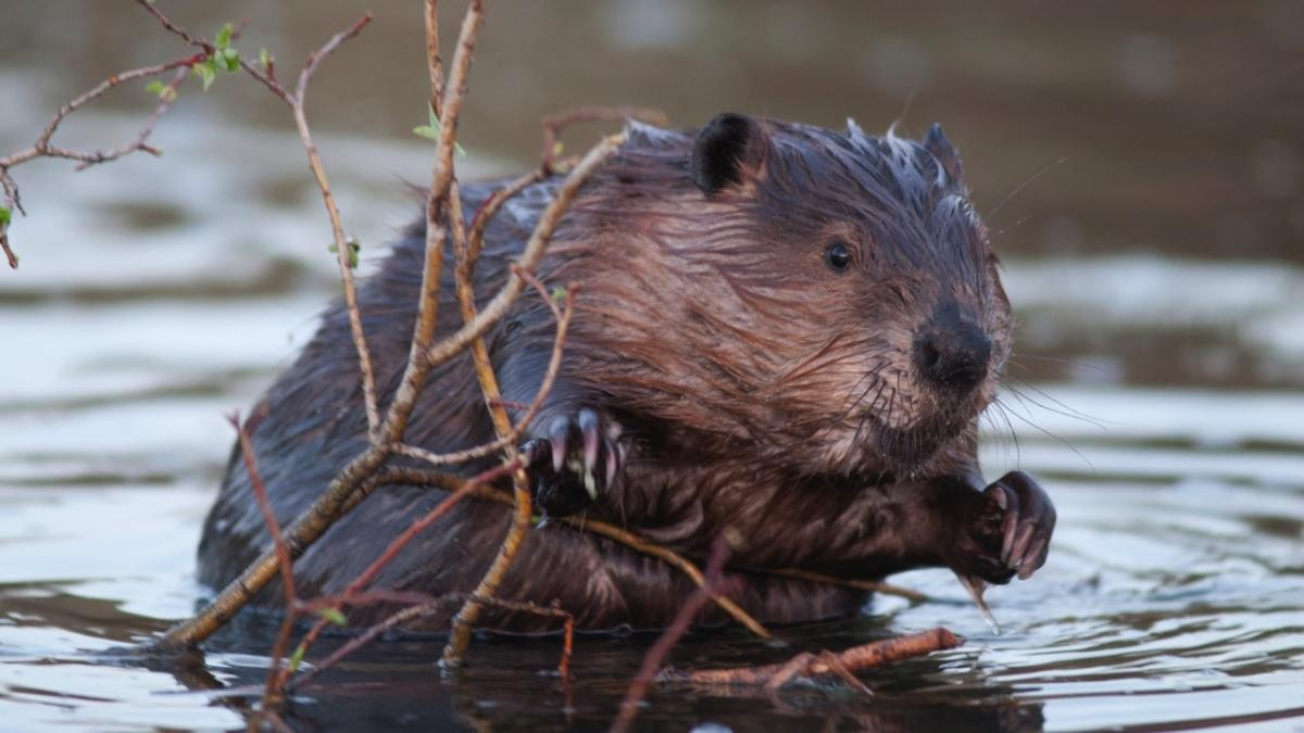 10 facts you didn't know about beavers © iStock