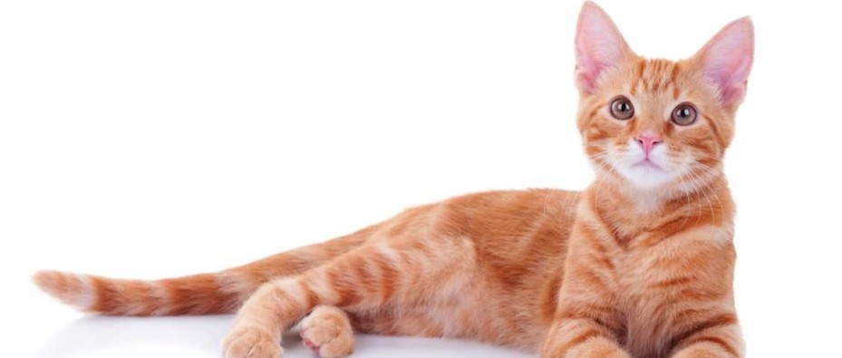 Is It True That Most Ginger Cats Are Male Bbc Science Focus