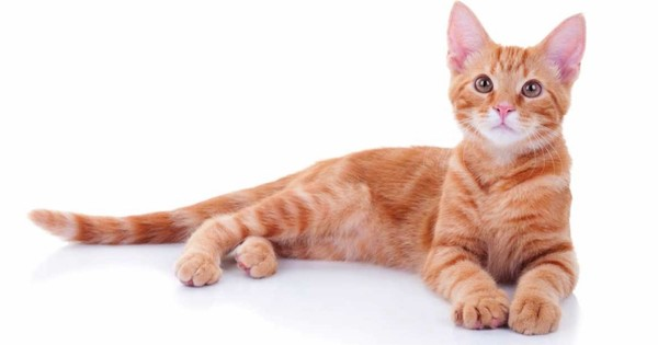 is it true that most ginger cats are male science focus bbc
