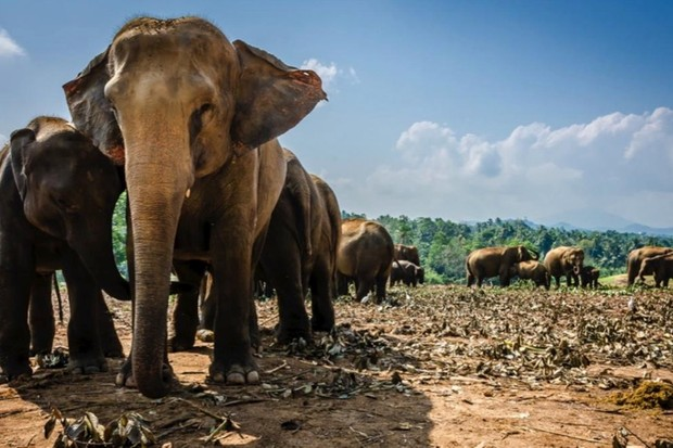 How many people would it take to lift an elephant? © iStock