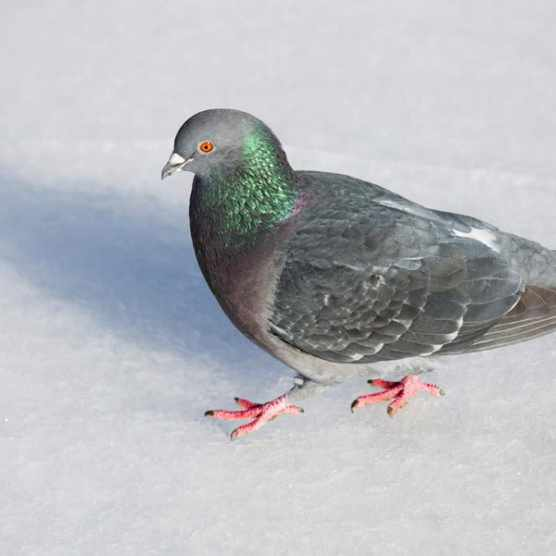 Why do pigeons bob their heads? © iStock
