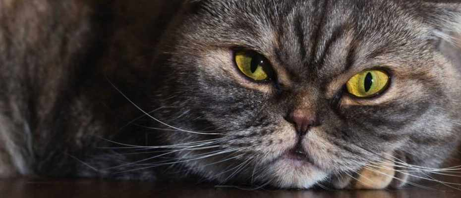 do fat cats have longer whiskers science focus bbc focus magazine