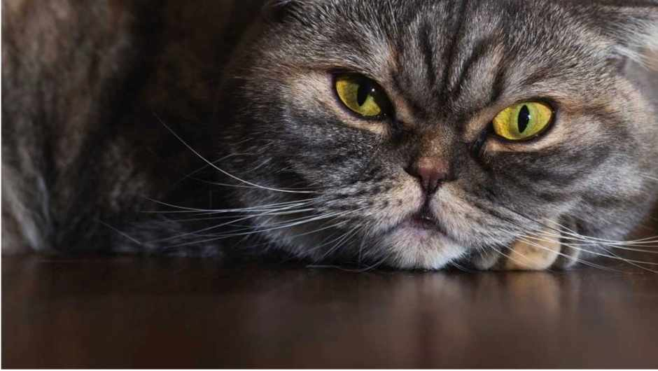 Do fat cats have longer whiskers? © iStock