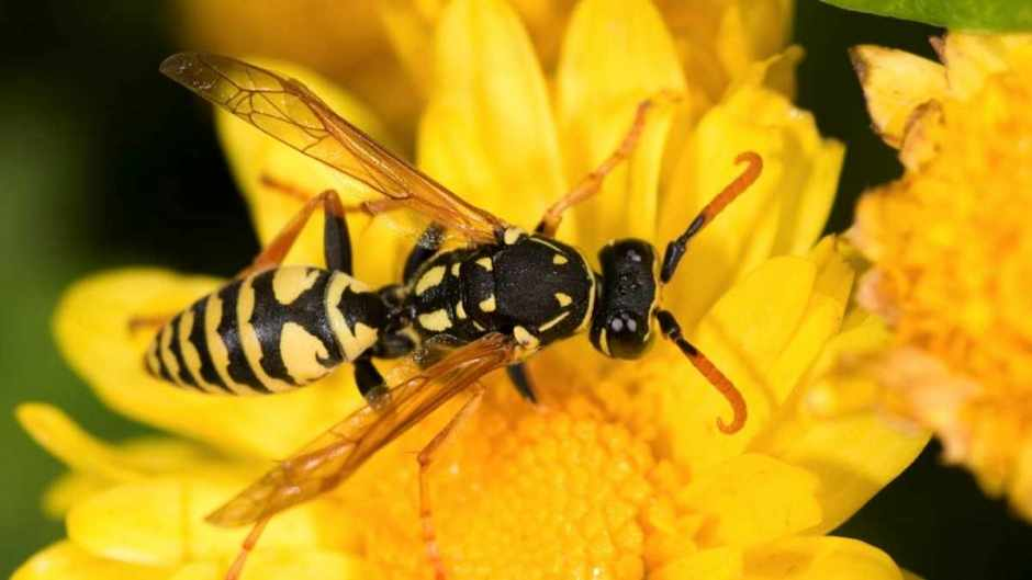 Could you neutralise a bee sting with a wasp sting? © iStock